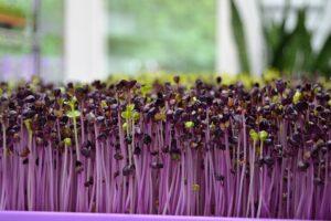 Ohne Garten anbauen - Täglich frisches Grün vom Fensterbrett - Keimlinge - Unsplash - Russ Ward
